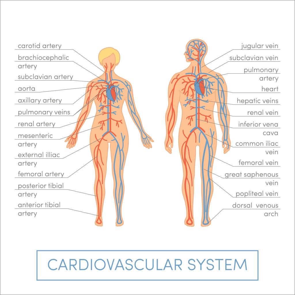 MMem 0505: Memorize the cardiovascular system